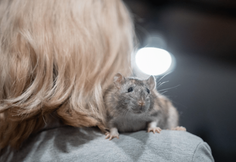 Summary info section about product range for pet type - Rat