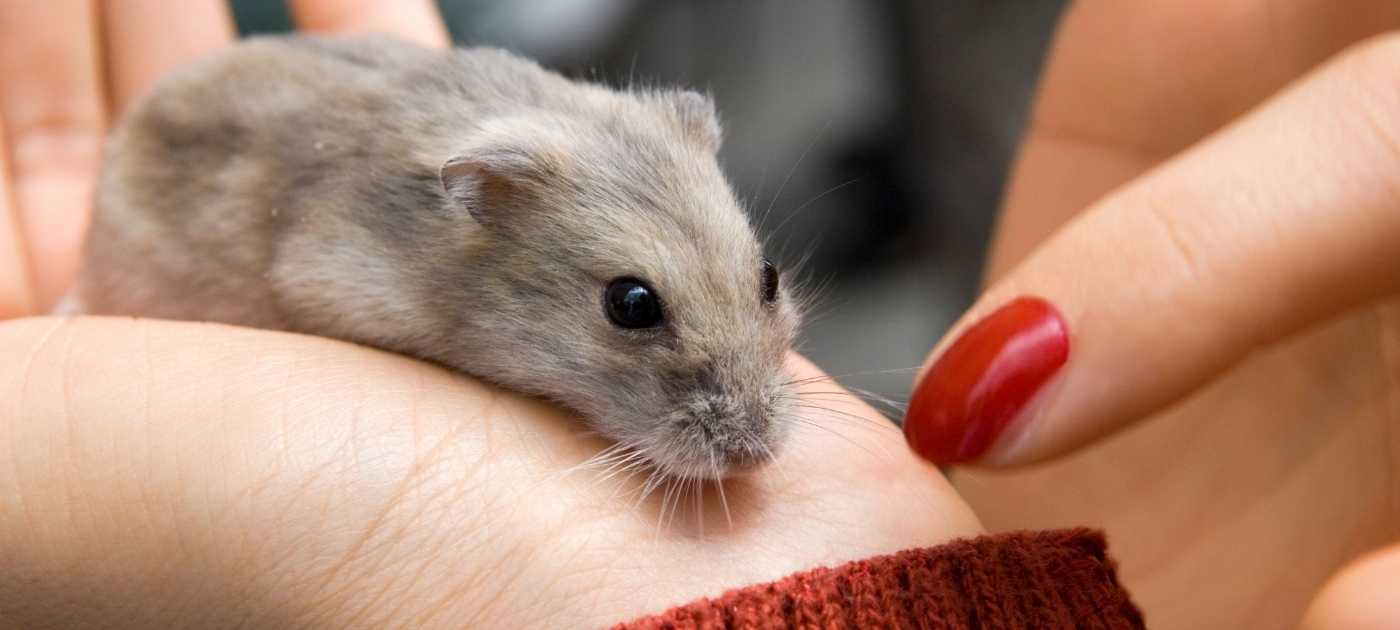 Caring for your pet mouse 1400 x 630