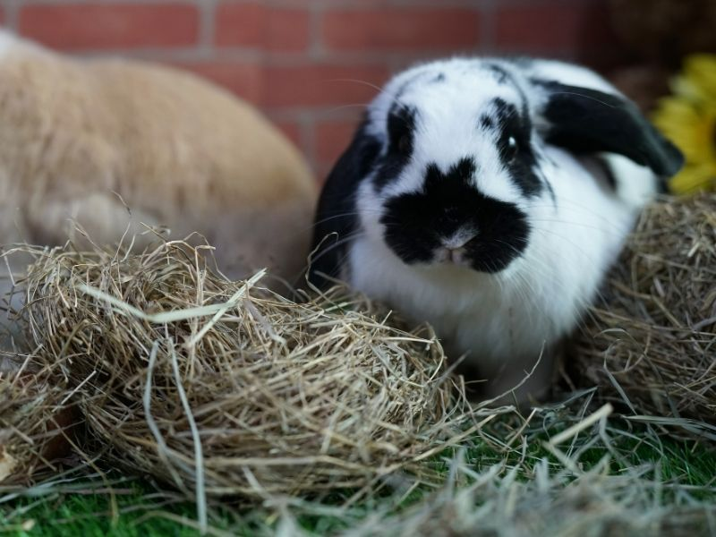 Eating hay is essential for rabbits